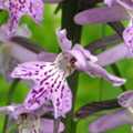 natura in Romania, orhidee / nature in Romania, orchids / Orchideentouren