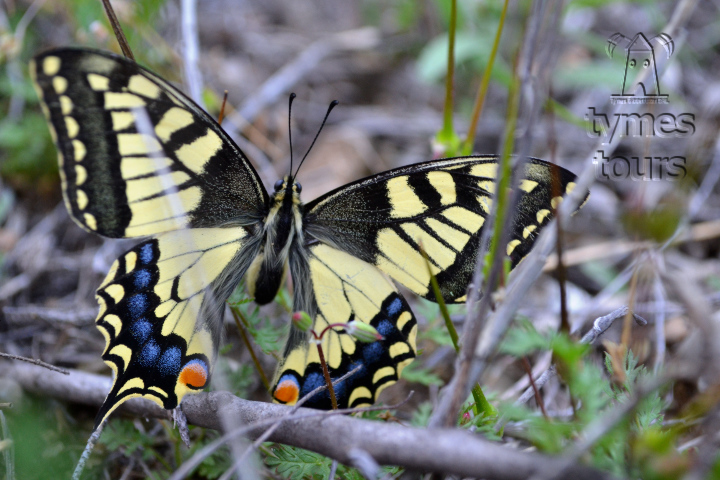 """swallowtail"" butterfly on the meadow with Orchis simia"