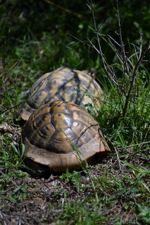 tortoise in the mating season